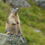 Marmot olie